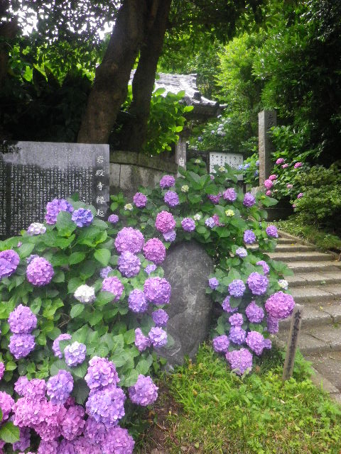 d05)   16.06.16 千三百年の貫禄! 逗子「岩殿寺」  紫陽花の頃.JPG